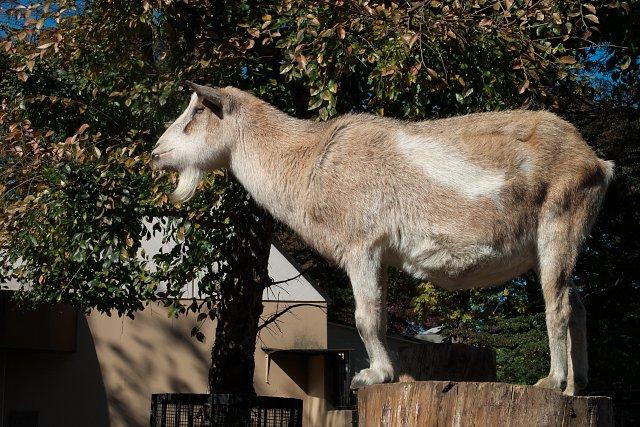 ヤギ/Goat