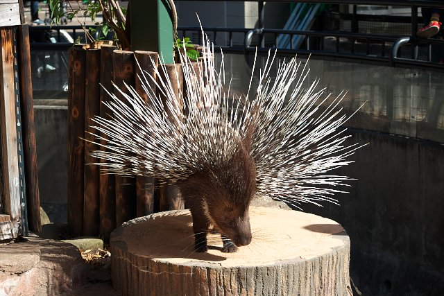 アフリカタテガミヤマアラシ/Porcupine