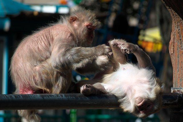アカゲザル/Rhesus macaque