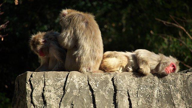 ニホンザル/Japanese macaque
