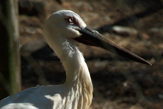 ニホンコウノトリ/Japanese white stork