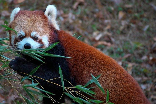 レッサーパンダ/Red Panda