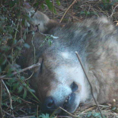 タイリクオオカミ/Gray wolf