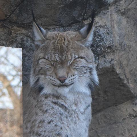 シベリアオオヤマネコ/Eurasian lynx