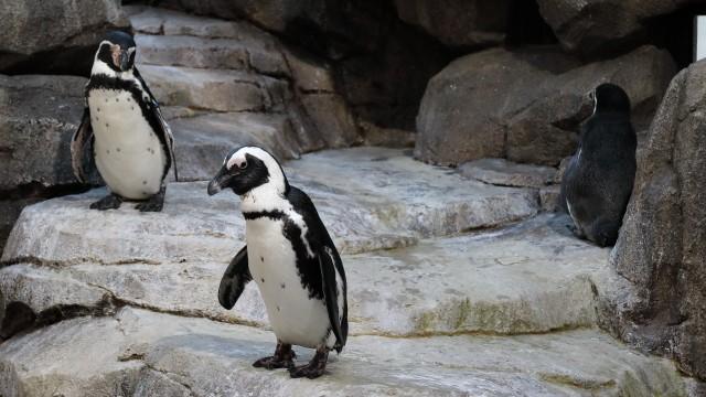 フンボルトペンギンとケープペンギン/Penguins