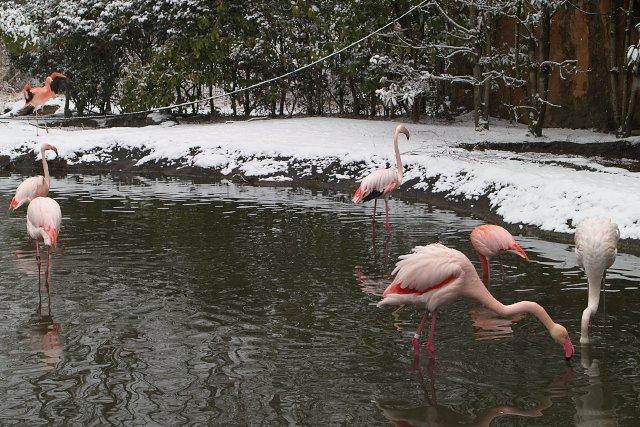 フラミンゴ/Flamingo