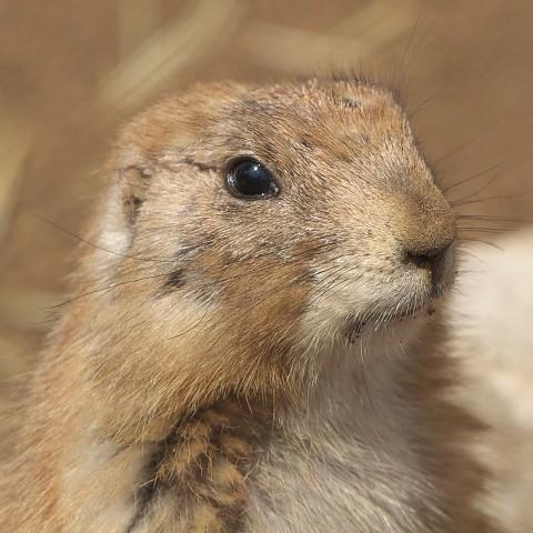 オグロプレーリードッグ/Prairie dog