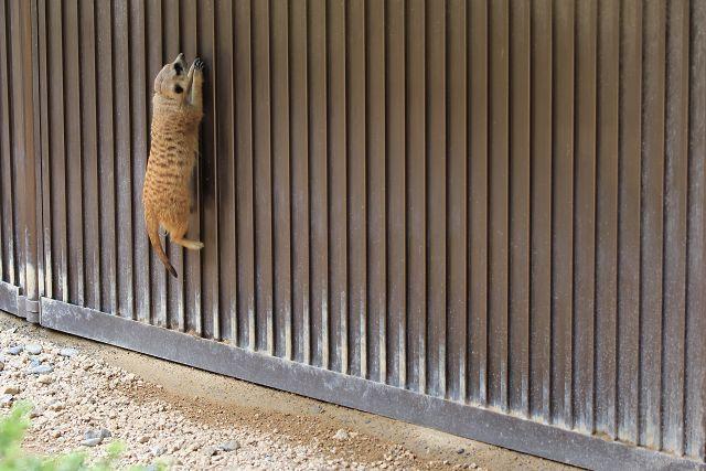 ミーアキャット/Meerkat