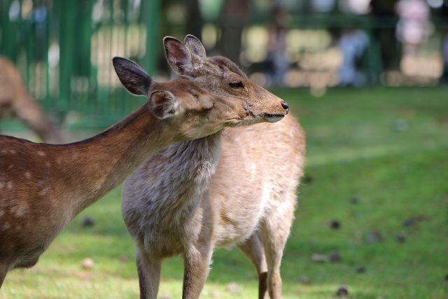 ニホンジカ/Sika deer