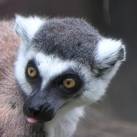 ワオキツネザル/Ring-tailed lemur