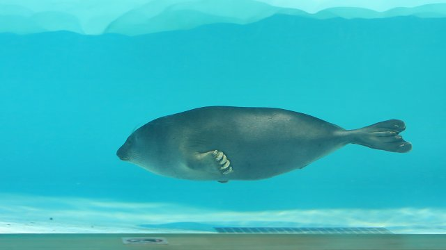バイカルアザラシ/Baikal seal
