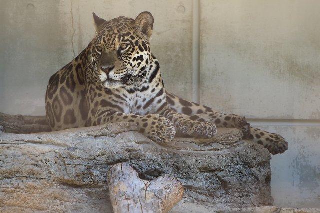 ジャガー/Jaguar