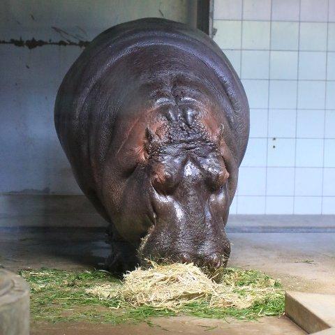 カバ/Hippopotamus