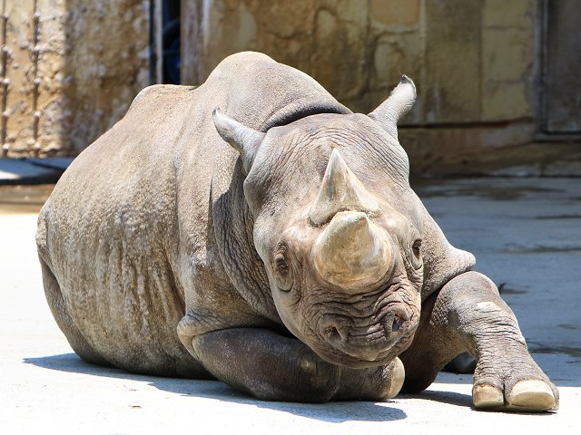 クロサイ/Black rhinoceros