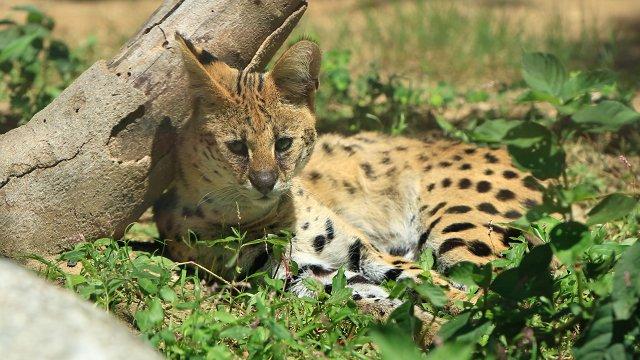 サーバル/Serval