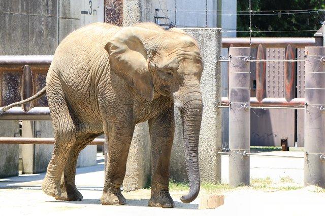 アフリカゾウ/African elephant
