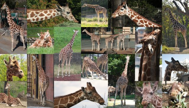 キリン集合画像/Giraffe Pictures