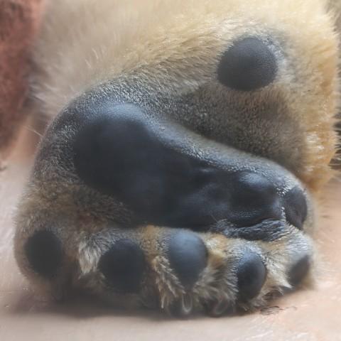 ホッキョクグマ/Polar bear