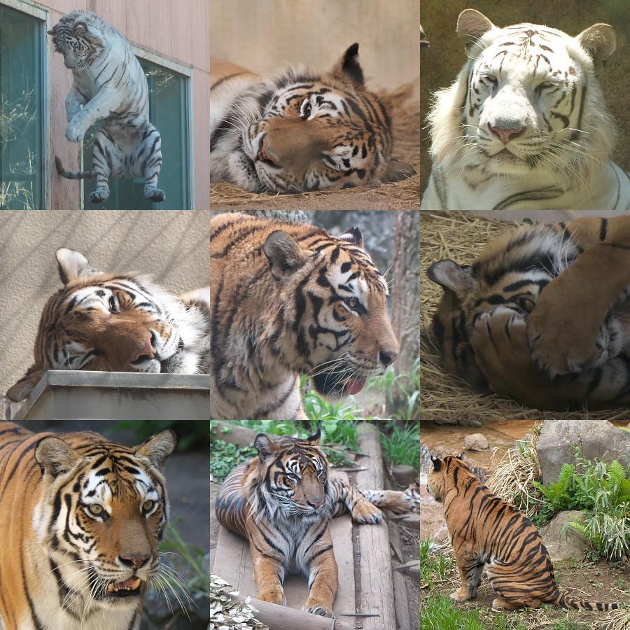 トラ集合画像/Tiger pictures