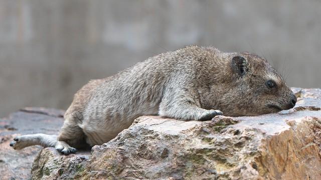 ケープハイラックス/Cape hyrax
