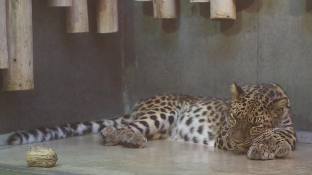 アムールヒョウ/Amur leopard