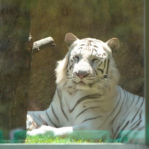 ホワイトタイガー/White tiger