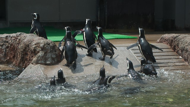 マゼランペンギン/Magellanic Penguin
