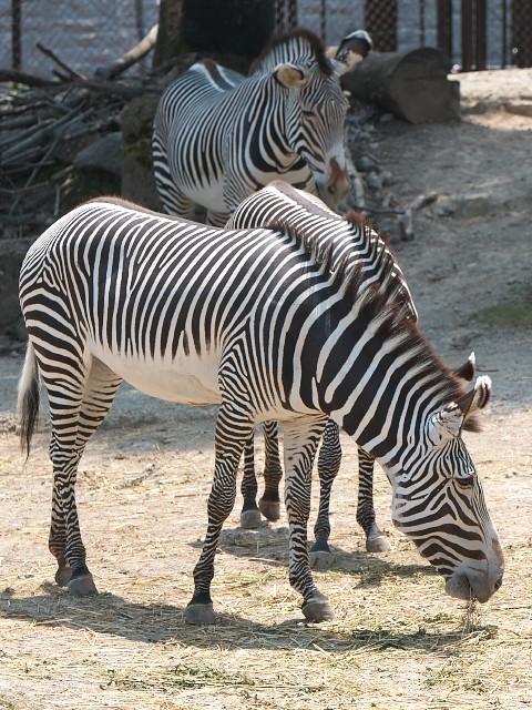 グレビーシマウマ/Grevy's zebra