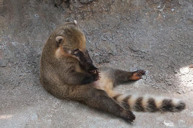 アカハナグマ/South American coati