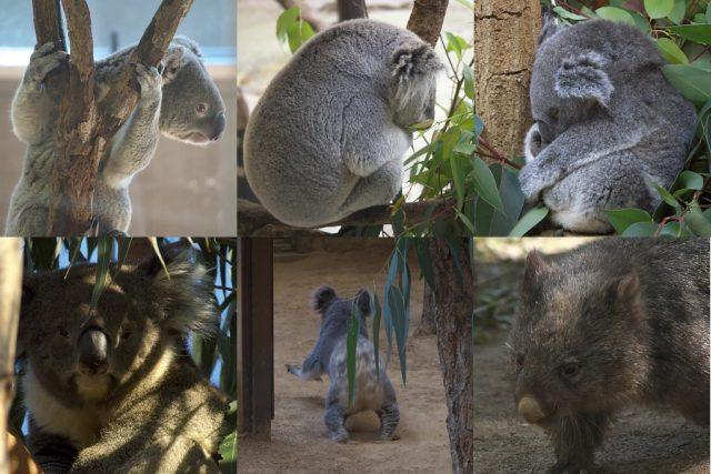 コアラ等集合画像 /Koala pictures and more...