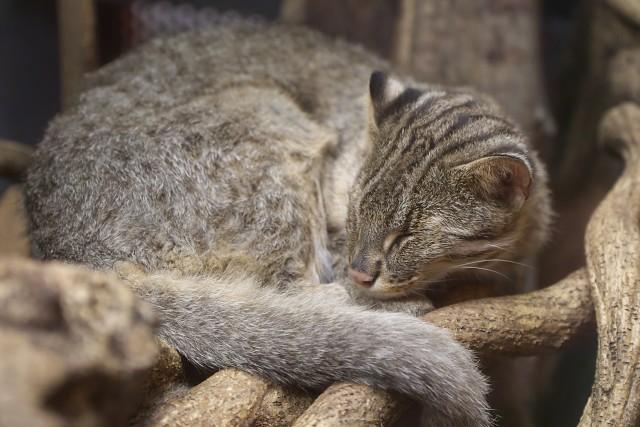 アムールヤマネコ/Amur cat