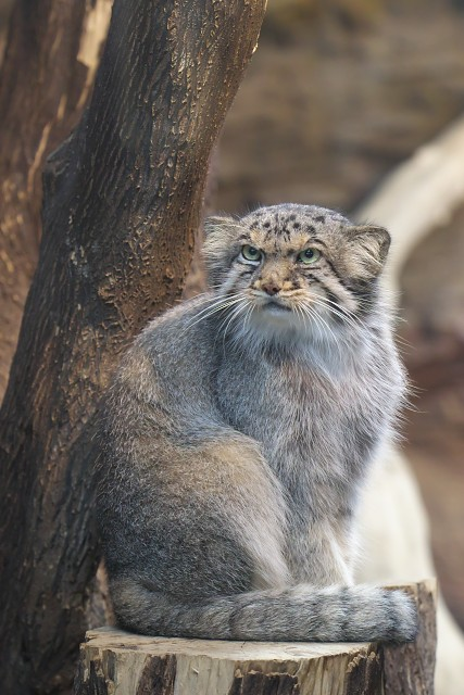 マヌルネコ/Pallas's cat