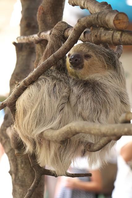 フタユビナマケモノ/Linnaeus's two-toed sloth