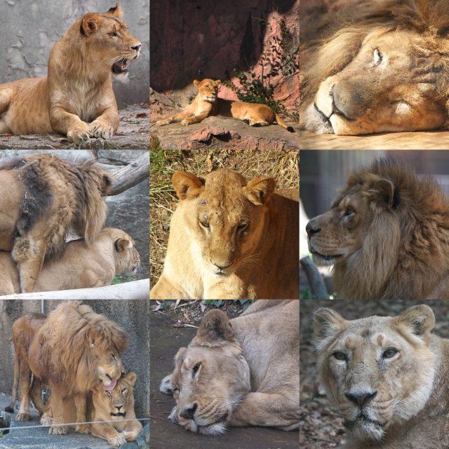 ライオン集合画像/Lion pictures