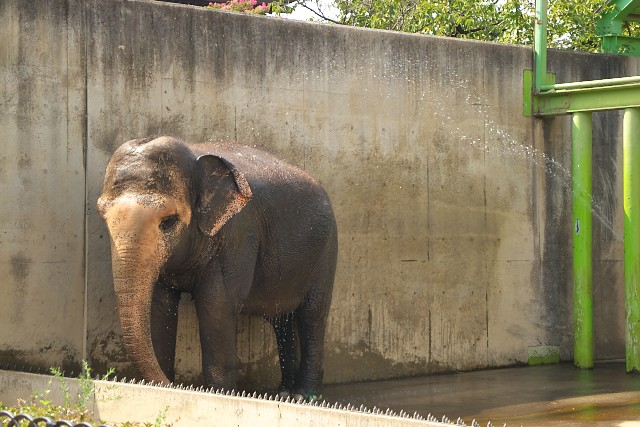 アジアゾウ/Asian elephant