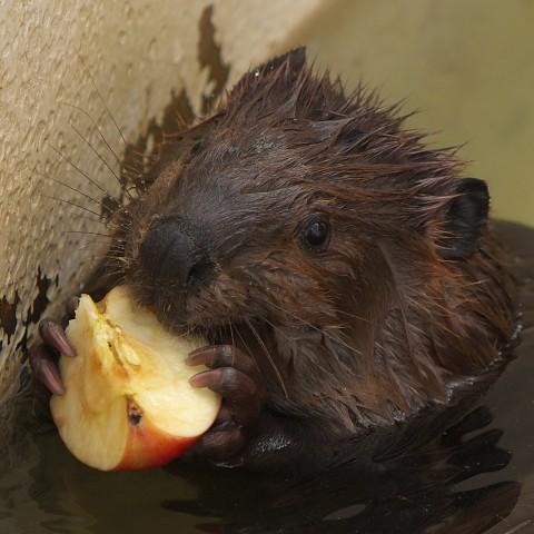 アメリカビーバー/North American beaver