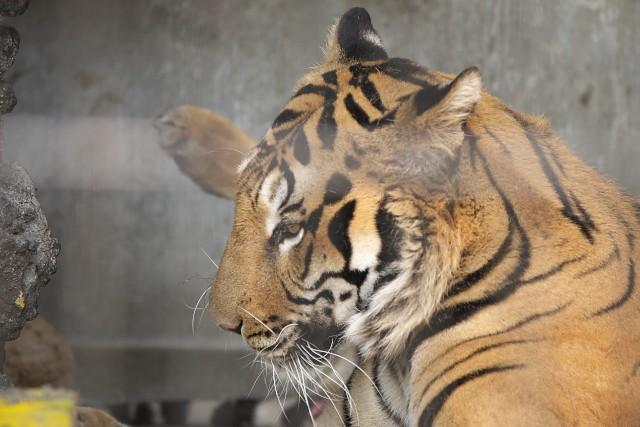 ベンガルトラ/Bengal tiger