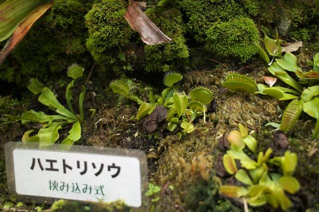 ハエトリソウ/Venus flytrap