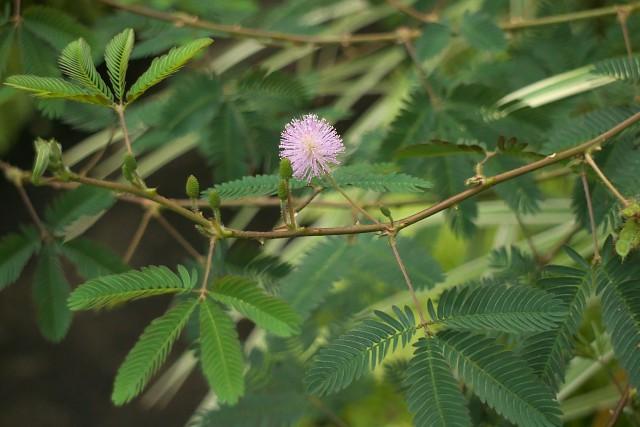 オジギソウ/Mimosa pudica