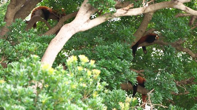 ニシレッサーパンダ/Western red panda