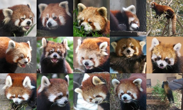 Red panda集合画像(Red panda pictures)