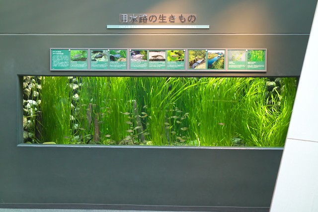 岐阜県世界淡水魚園水族館 用水路の生きもの水槽