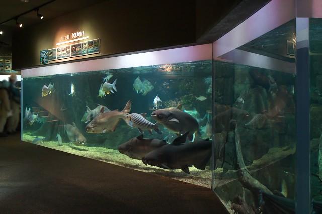 岐阜県世界淡水魚園水族館 メコン川中流の魚水槽