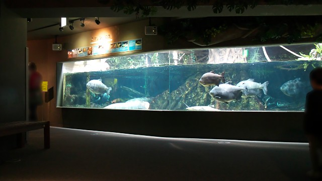 岐阜県世界淡水魚園水族館 アマゾン川の魚水槽