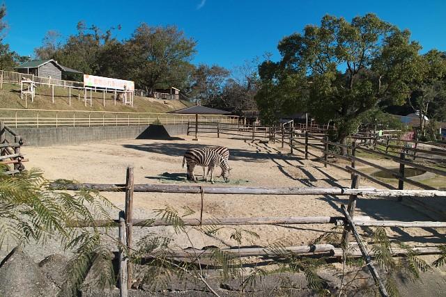 チャップマンシマウマ/Chapman's zebra