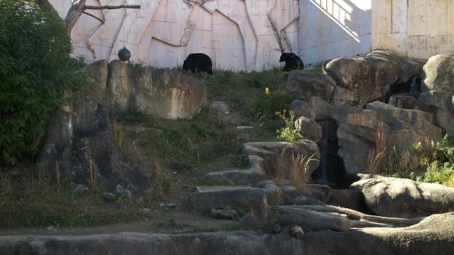 ニホンツキノワグマ/Japanese black bear