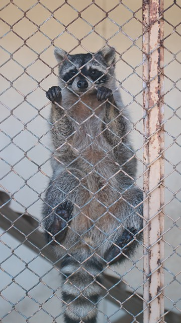 アライグマ/Common raccoon