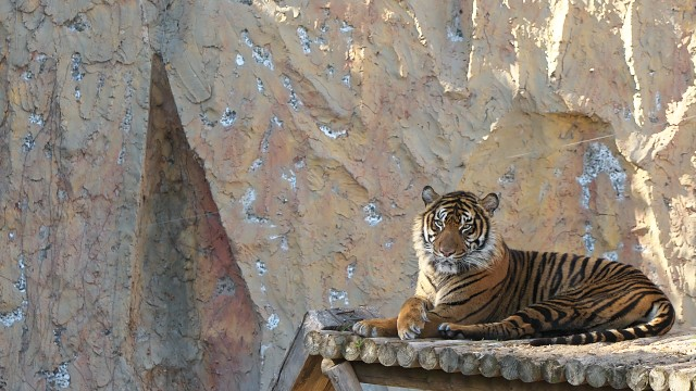 スマトラトラ/Sumatran tiger
