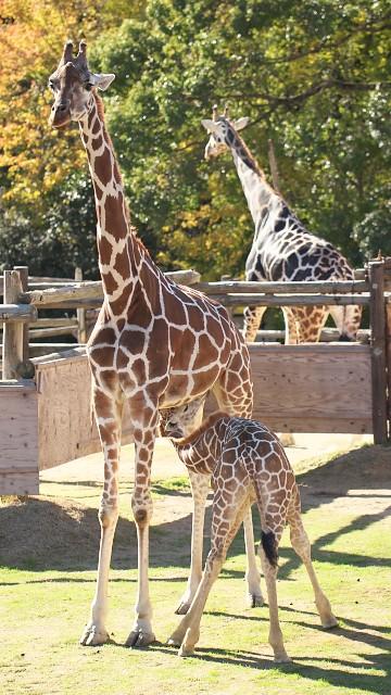 アミメキリン/Giraffe