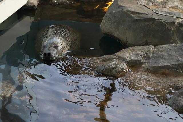 ゴマフアザラシ/Spotted Seal